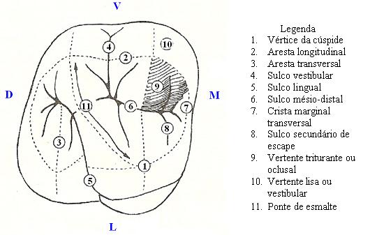 anatomia dental molar oclusal